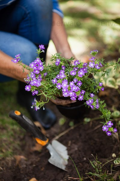 Low section of senior woman planting purple flowers in soil