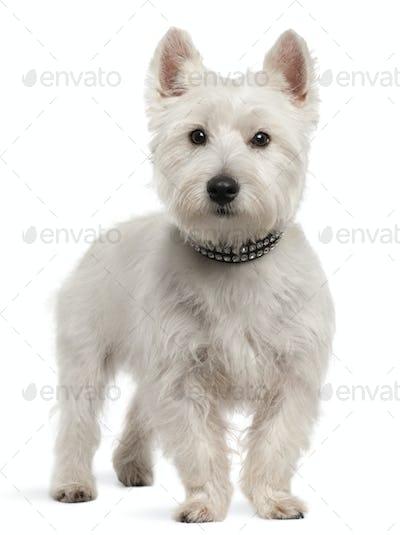 West Highland White Terrier (8 months old)