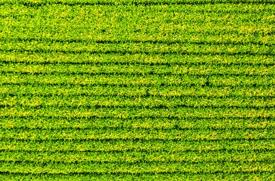 Soybean field with rows of soya bean plants. Aerial view