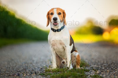 Portrait of a beagle dog in nature sitting on rural road, looking at camera.