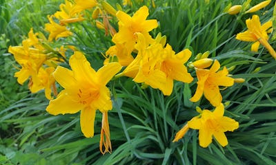 Beautiful bright flowers of yellow Day-Lily