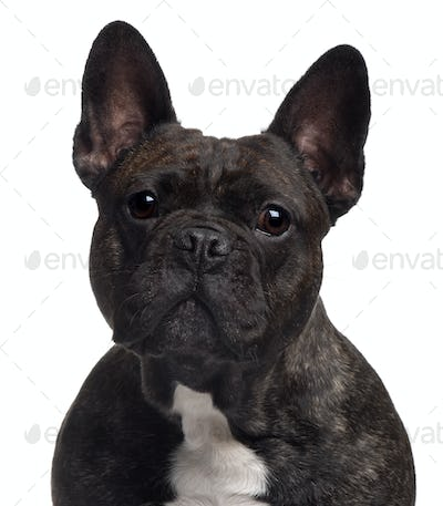 Close-up of French bulldog, 3 years old, in front of white background