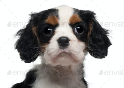 Close-up of Cavalier King Charles Puppy, 2 months old, in front of white background