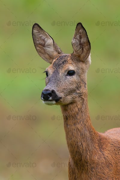 Roe deer doe looking on meadow in summer nature from close up