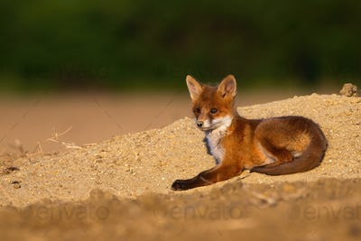 Juvenile red fox lying on sand during the summertime