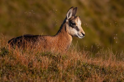 Little tatra chamois laying down in mountains in summer