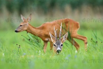 Pair of roe deer resting on meadow during the summer