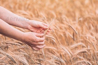 Female farm worker agronomist examining ripe barley crops