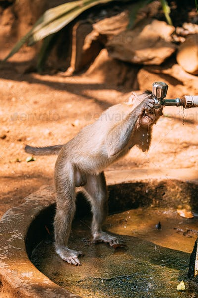 Goa, India. Physically Challenged Bonnet Macaque Drinking Water From a Faucet. Macaca Radiata Or