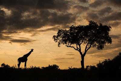 A silhouette of a giraffe, Giraffa camelopardalis giraffa, by a single tree against an orange sunset