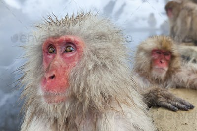 Japanese Macaque (Macaca fuscata) in the winter snow, Joshin-etsu National Park, Honshu, Japan.