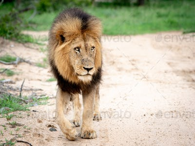 A male lion, Panthera leo, walks towards camera, looking out of frame, big mane