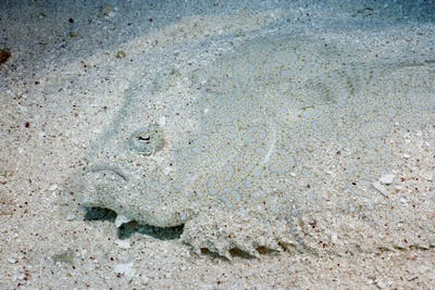 A Flowery flounder, Bothus mancus, blending into the sand bottom, Coral Sea, Australia