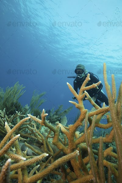 A scuba diver underwater.  Staghorn coral branches growing up from the reef.
