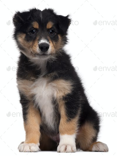 Mixed-breed puppy, 7 weeks old, sitting in front of white background