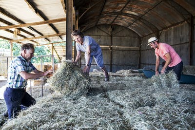 Three farmers stacking hay bales in a barn.
