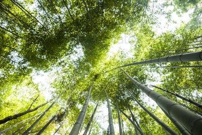 Low angle view of a bamboo forests with lush green canopy.