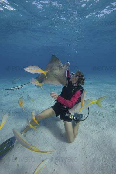 Scuba diver handfeeding a Southern stingray underwater at the Sandbar, Grand Cayman.