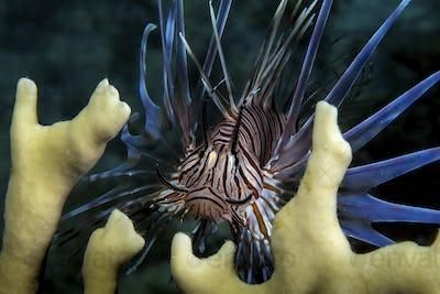 The invasive species, Lionfish (Pterois volitans) amid fire coral plants.