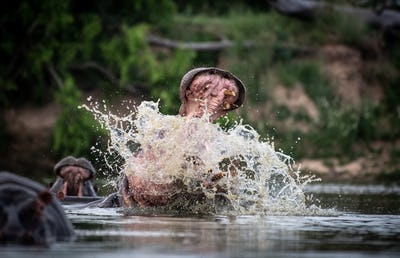 A hippo, Hippopotamus amphibius, raises its head out of the water and opens its mouth, splashing