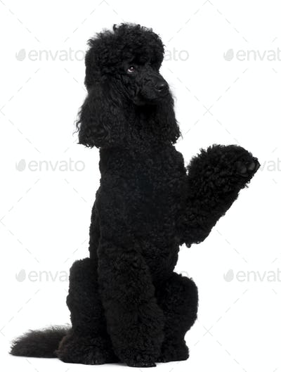 Royal Poodle, 18 months old, standing on hind legs in front of white background