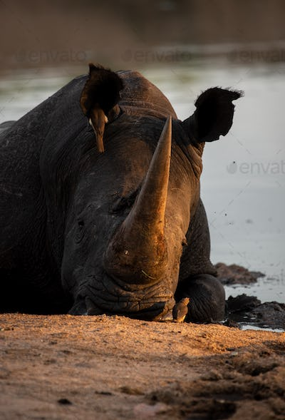 A white rhino, Ceratotherium simum, lies down in a waterhole, resting head on ground, sunset light