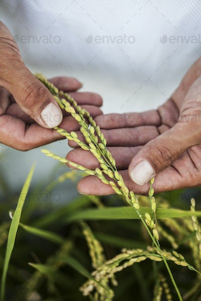 High angle close up of farmer holding rice plant in his palm.