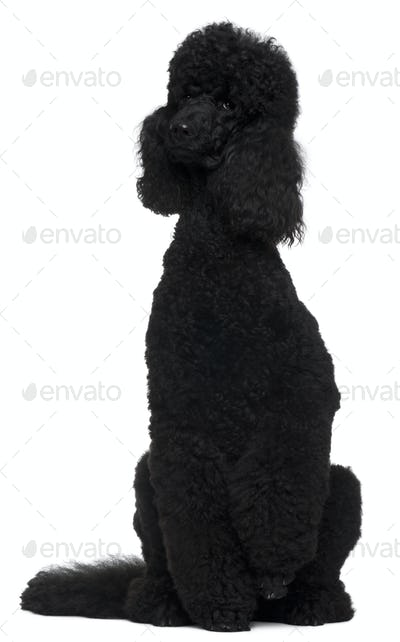 Royal Poodle, 18 months old, sitting in front of white background