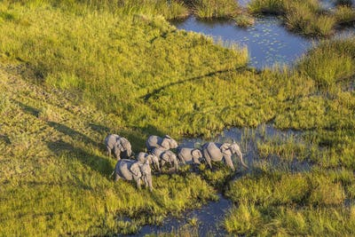 Aerial view of herd of African Elephants standing by a watering hole in lush delta.