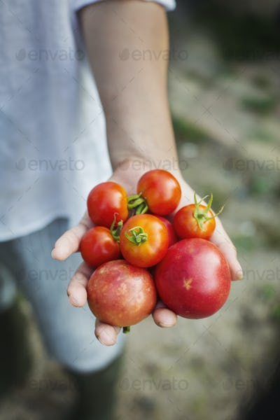 Close up of person holding freshly picked tomatoes.