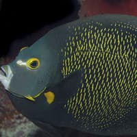 Close-up of French Angelfish , Pomacanthus paru.