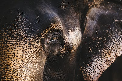 Close up of young Indian Elephant.