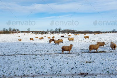 Flock of sheep outdoors in a field in the snow.