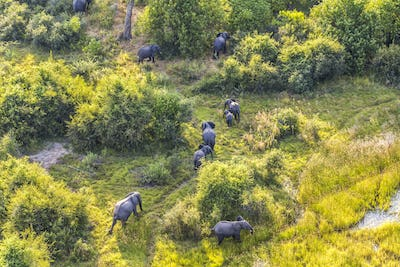 Aerial view of herd of African Elephants walking across lush delta.