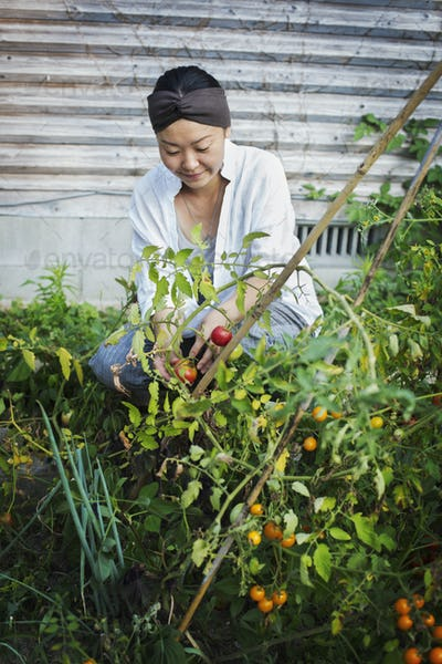 Smiling woman kneeling in garden, picking tomatoes.