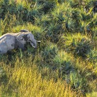 Aerial view of African Elephant standing in lush delta.