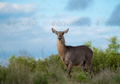 A waterbuck, Kobus ellipsiprymnus, stands against a blue sky background, direct gaze