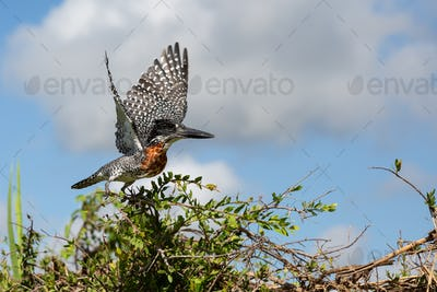 A giant kingfisher, Megaceryle maxima, takes off into flight from a bush, wings spread