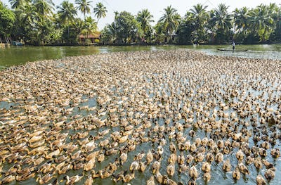 High angle view of large flock of ducks on a river.