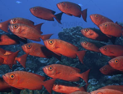 Large school of Crescent tail bigeye with vivid red coloured skin.