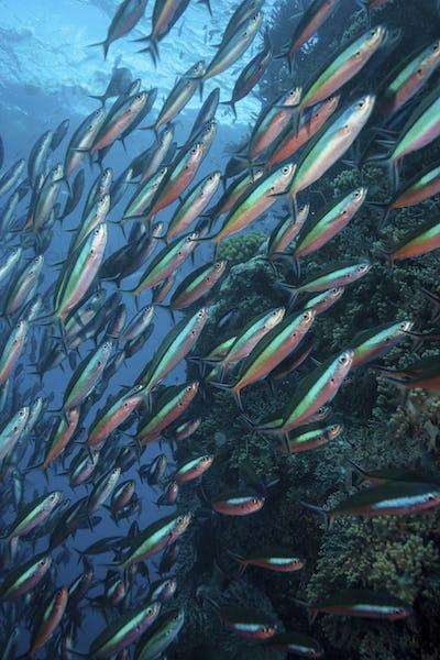 School of Bluestreak fusilier (Pterocaesio tile) near the Great Barrier Reef
