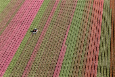 Aerial view tractor driving across red, green and pink fields of tulips.