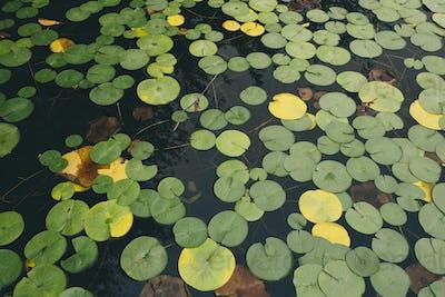 Detail of waterlilies on calm lake Green Lake, Seattle, Washington, USA.