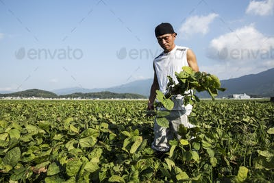 Japanese farmer standing in a field, holding soy bean plants.