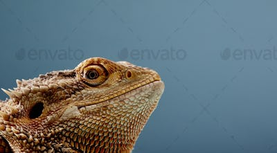 Portrait of head of Bearded Dragon (Pogona) against blue background