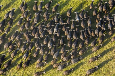 Aerial view of large herd of African Buffalo in lush delta.