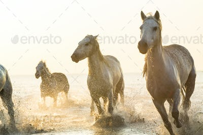 Small group of white horses running in the ocean.