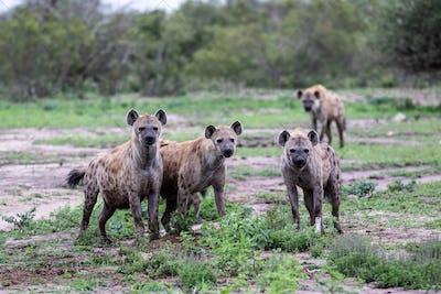 A clan of spotted hyenas, Crocuta crocuta, stand together, direct gaze