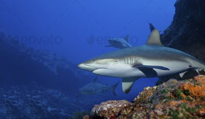 Gray reef sharks in the warm waters above a coral reef.