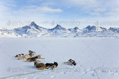 Winter landscape with pack of Huskies resting on the ice.